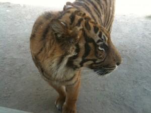 Lisbon Zoo Tiger